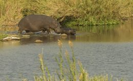 Hippo with cub stock image