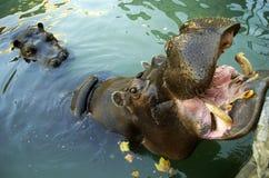 Hippo in de DIERENTUIN stock foto's