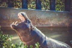 Hippo in de DIERENTUIN stock afbeelding