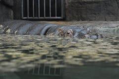 Hippo in de DIERENTUIN Royalty-vrije Stock Afbeelding