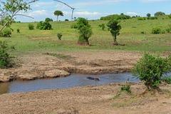 Hippo in de rivier Royalty-vrije Stock Foto