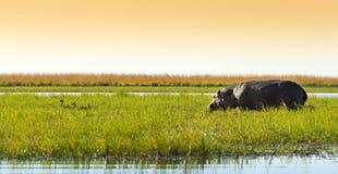 Hippo in de wildernis royalty-vrije stock foto