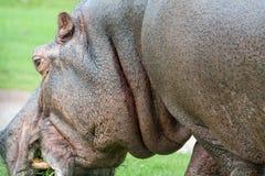 Hippo die gras eet royalty-vrije stock afbeeldingen