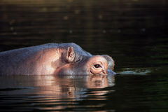 Hippo die omhoog van het Water kijken Royalty-vrije Stock Afbeelding