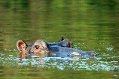 Hippo die omhoog van het Water kijken Royalty-vrije Stock Foto's