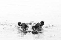 Hippo die omhoog van het zwart-witte Water kijken, Stock Fotografie