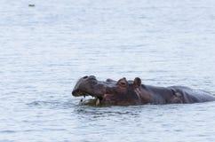 Hippo die teeths #1 tonen Royalty-vrije Stock Afbeeldingen