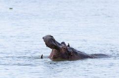 Hippo die teeths #2 tonen Stock Afbeeldingen