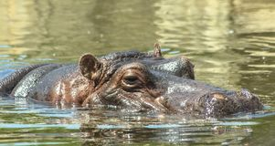 Hippo with a dissolved muzzle swims in the water. In his huge mouth there are four canine teeth, each of which is a fearsome weapon and can reach 70 centimeters Royalty Free Stock Photography