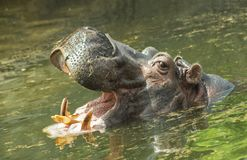 Hippo with a dissolved muzzle swims in the water. In his huge mouth there are four canine teeth, each of which is a fearsome weapon and can reach 70 centimeters Stock Photos