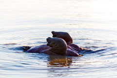 Hippo dive Royalty Free Stock Image