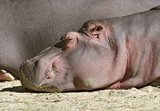 Hippo dozing lazily in the sun Royalty Free Stock Image