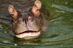 The Hippo Draws Near. A  hippo swims dangerously closer on a bright sunny day Royalty Free Stock Photos
