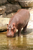 Hippo drinking water. At a creek near rocks Royalty Free Stock Photography