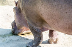 Hippo drinking water close-up Royalty Free Stock Photos