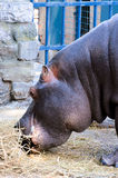 Hippo eating Royalty Free Stock Photos