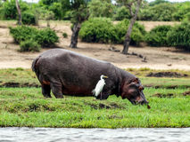 Hippo eating Royalty Free Stock Images