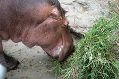 Hippo eating fresh green grass Stock Photo