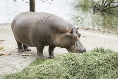 Hippopotamus Eating Grass stock photo. Image of grazing ... |Hippo Eating Grass