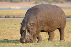 Hippo eating grass Royalty Free Stock Photography