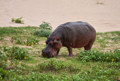 Hippo eating green grass Royalty Free Stock Images