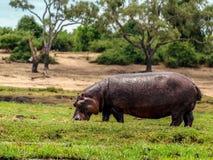 Hippo eating Stock Photos