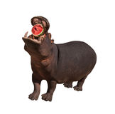 Hippo eating watermelon isolated. Hippo with open mouth eating watermelon isolated Stock Image