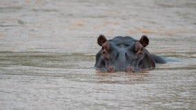 Hippo in een rivier in Afrika royalty-vrije stock afbeeldingen