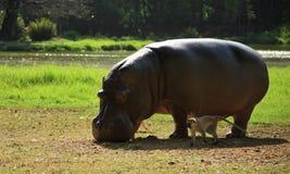 Hippo en de aap Royalty-vrije Stock Fotografie