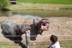 Hippo Encounter. WINSTON, OREGON - April 16, 2014: A Wildlife Safari employee interacts with two large hippopotamus near their enclosure in Winston, OR on April stock images