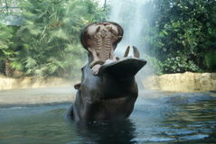 Hippo enjoying shower. Hippopotamus enjoying water shower in Berlin zoo royalty free stock images