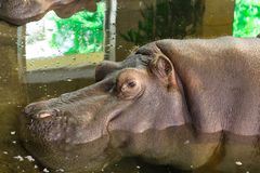 Hippo enjoys cool water on a hot summer day royalty free stock photo