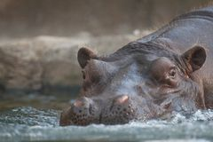 Hippo entering water Royalty Free Stock Photography