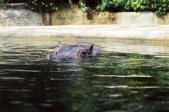 Hippo Royalty Free Stock Photos