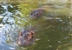 Hippo Stock Photo