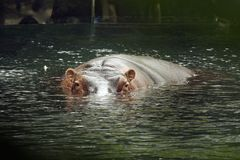 Hippo eyes. Hippo submerged and swimming stock photography