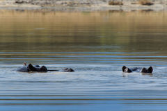 Hippo eyes above water Botswana Moremi Africa Stock Photos