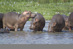 Hippo Family Stock Image