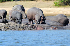 Hippo family Stock Photography