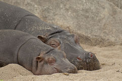 Hippo family. The hippopotamus or hippo is a large mammal Royalty Free Stock Photography