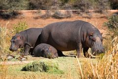 Hippo family. The shot was taken in Namibia Stock Images