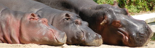 Hippo Family. Sweet hippo-family taking a nap in the sun stock image