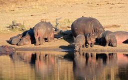 Free Hippo Family Stock Images - 31636704