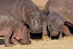 Free Hippo Family Stock Photo - 32006710