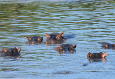 Hippo family. Family of hippopotamuses swimming in shallow water of  the Masai Mara Reserve (Kenya Stock Image
