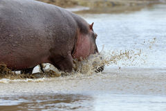Hippo family Royalty Free Stock Images
