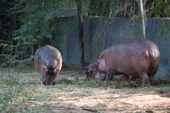 Hippo Family. Eating grass food Royalty Free Stock Photography