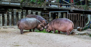 Hippo family Stock Images