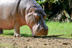 Hippo family Hippopotamus amphibius Stock Photos