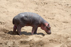 Hippo family Hippopotamus amphibius Stock Images